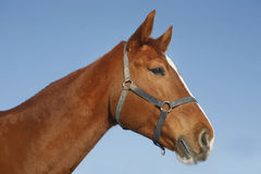 Portrait of nice purebred chestnut gold horse at corral door Stock Photography