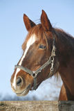 Portrait of nice purebred chestnut horse at corral door Stock Image