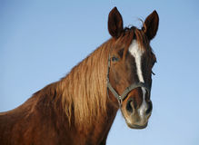 Portrait of a nice purebred horse winter corral. Headshot of a beautiful thoroughbred horse in winter pinfold under blue sky as a background Stock Images