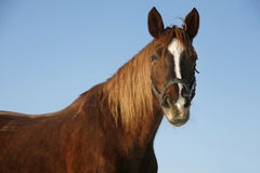 Portrait of a nice purebred horse winter corral Stock Photo