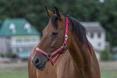 Portrait of nice quarter horse. Portrait of nice brown quarter horse looking to the left Royalty Free Stock Photos