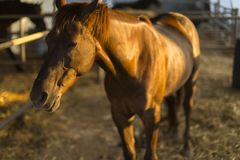 Portrait of nice quarter horse. Hippotherapy to health on horseback. Portrait of nice quarter horse Stock Photos
