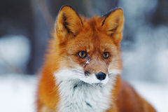 Portrait of nice red fox in winter forest Stock Photo