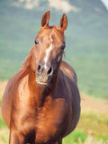 Portrait of nice sorrel  horse at freedom Royalty Free Stock Photo