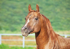 Portrait of nice sorrel  horse at freedom Stock Images