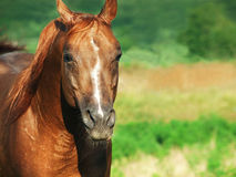 Portrait of nice sorrel horse at freedom. Sunny day stock image