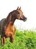 Portrait of nice sorrel horse. Outdoor royalty free stock image