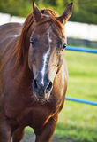 Portrait of nice sorrel horse. Outdoor royalty free stock photos