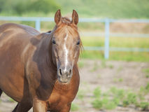 Portrait of nice sorrel horse in paddock. Outdoor royalty free stock image