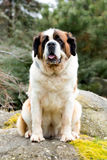 Portrait of a nice St. Bernard dog. Female in the spring garden Royalty Free Stock Image
