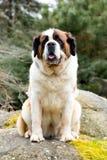 Portrait of a nice St. Bernard dog Royalty Free Stock Image