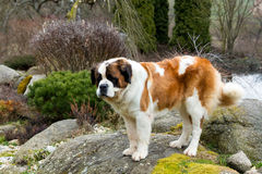 Portrait of a nice St. Bernard dog stock image