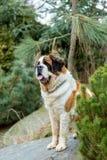 Portrait of a nice St. Bernard dog Stock Photography