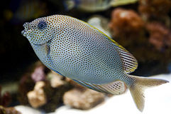 Tropical Fish 34 Stock Photography