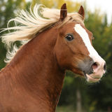 Portrait of nice welsh pony stallion with blond hair
