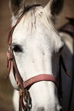 Portrait of nice white horse. Close-up Royalty Free Stock Images