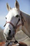 Portrait of nice white horse. Close-up Stock Photos