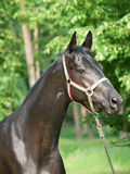 Portrait of  nice young black horse Stock Photos