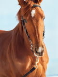 Portrait of nice young chestnut horse at blue Royalty Free Stock Images