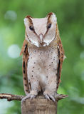Portrait the night bird barn owl stand on old dead tree in front Stock Image