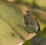 Portrait of a Nightingale Royalty Free Stock Photo