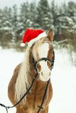 Portrait Nightingale Welsh pony in a Christmas red cap in the snow in the woods. Little horse in the winter forest in the new year. Nightingale Welsh pony in a stock photos