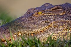 Portrait of a Nile Crocodile Crocodylus niloticus, Stock Images