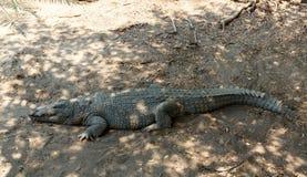 Portrait of a Nile Crocodile Royalty Free Stock Photos
