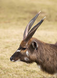Portrait of nile lechwe Stock Photography