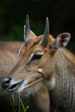 Portrait of Nilgai Stock Images