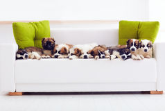 Portrait of nine cutest caucasian shepherd puppies lying in row on sofa at home stock images