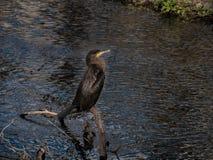 Portrait noir d'oiseau de Cormorant, se tenant sur la rivière d'identifiez-vous images libres de droits