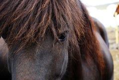 Portrait noir de cheval - cheval islandais Photo libre de droits