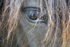 Portrait noir de cheval - cheval islandais Images stock