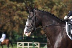 Portrait noir de cheval pendant la concurrence de dressage Photographie stock libre de droits