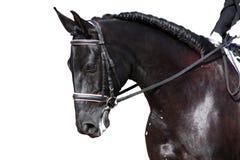 Portrait noir de cheval pendant la concurrence de dressage d'isolement sur le whi Images libres de droits