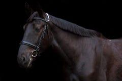 Portrait noir de cheval sur le fond noir Images libres de droits