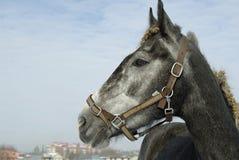 Portrait noir de cheval sur le paysage de neige d'hiver Photo stock