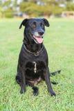 Portrait noir de Labrador Images stock