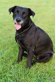 Portrait noir de Labrador photographie stock
