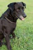 Portrait noir de Labrador photographie stock libre de droits