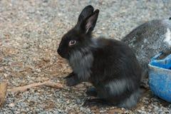 Portrait noir de lapin pour le fond animal photographie stock