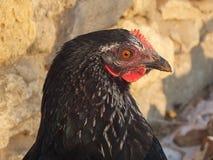 Portrait noir de poulet Photographie stock