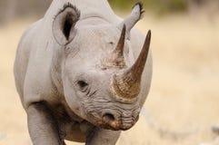 Portrait noir de tête de rhinocéros, nationalpark d'etosha, Namibie Photo libre de droits