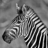 Portrait noir et blanc d'un zèbre Photos libres de droits