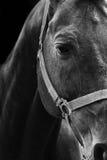 Portrait noir et blanc de cheval Photo libre de droits