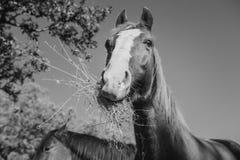 Portrait noir et blanc de cheval mignon mangeant l'herbe Fin vers le haut Images libres de droits