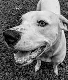 Portrait noir et blanc de chien photo libre de droits