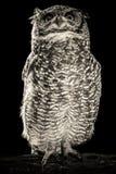 Portrait noir et blanc de hibou photo stock