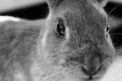 Portrait noir et blanc de lapin Image libre de droits